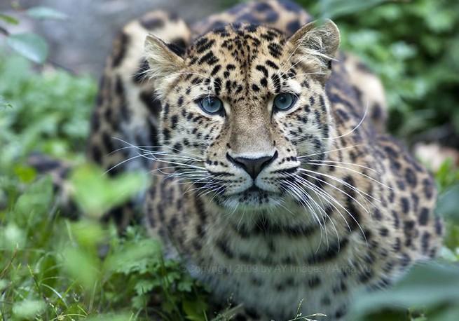 大型猫科动物亚种之一